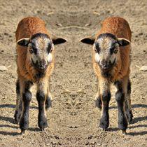 Kamerun Lämmchen Zwillinge von kattobello