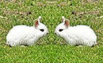 Weiße Zwergkaninchen Zwillinge von kattobello