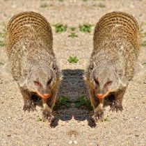 Zebramangusten Zwillinge von kattobello