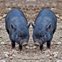 Minischweinferkel Zwillinge von kattobello