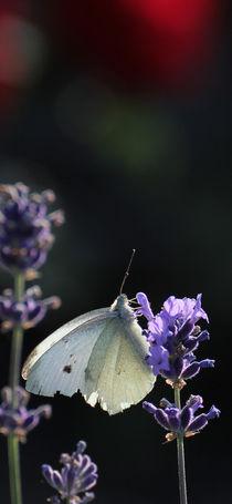 Weißer Schmetterling von Peggy Graßler