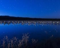 Sandhill cranes roosting below the stars von Maresa Pryor-Luzier