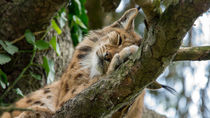 Schlafender Luchs von Stephan Gehrlein