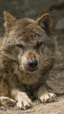 Alter Wolf von Stephan Gehrlein