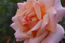 Rose von art-dellas
