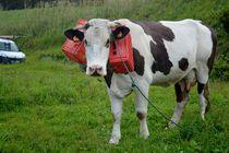 Inselimpression mit einer Kuh von art-dellas