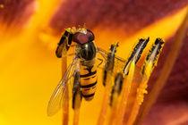 Der Pollendieb - Schwebfliege by Chris Berger