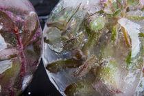 Sedum cyaneum in kristallklarem Eis 2 von Marc Heiligenstein
