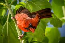 Cardinal on Sunflower von Tim Seward