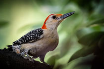 Red Bellied Woodpecker by Tim Seward
