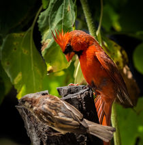 Northern Cardinal and House Sparrow by Tim Seward