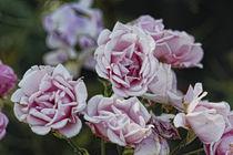 Pastellfarbene Schönheiten von Petra Dreiling-Schewe