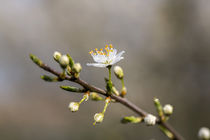 Dew-soaked Blossom by George Kay