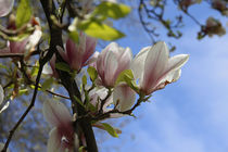 Magnolienhimmel von Petra Dreiling-Schewe