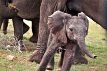 junger Elefant stürmt davon by assy
