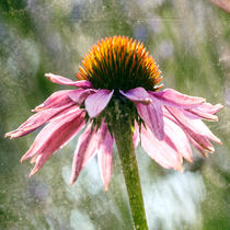 Purpur-Sonnenhut  - Echinacea Purpurea by Chris Berger