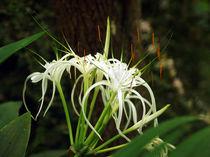 White Spyder Lily, Schönhäutchen, Schönlilie von Sabine Radtke