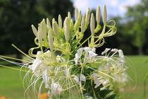 weiße Blume von karneol