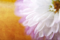 Chrysantheme im Detail von Petra Dreiling-Schewe