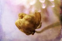 Chrysantheme mit Nachwuchs von Petra Dreiling-Schewe