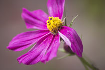 Schönheit in Pink von Petra Dreiling-Schewe