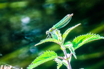 Green Dragonfly  by Vincent J. Newman