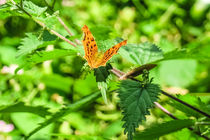 Eastern Comma Butterfly von Vincent J. Newman