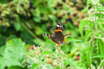 Red Admiral Butterfly by Vincent J. Newman