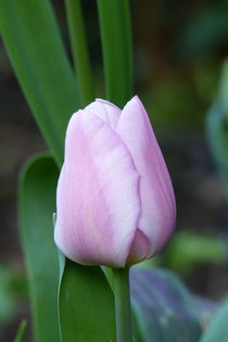 Tulip Holland Beauty von maja-310