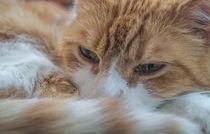 Katzenporträt Nahaufnahme von micha-trillhaase-fotografie