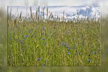 Im Getreide - Kornblumen von Chris Berger