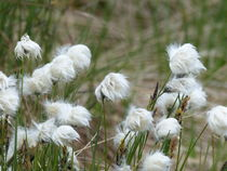 Wollgras im Wind von maja-310