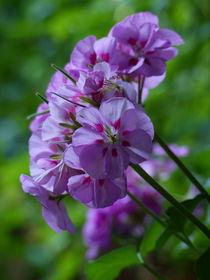 Geranienblüte von maja-310