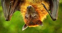 Flugfuchs von kattobello
