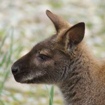 Wallaby Profil by kattobello