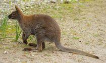 Wallaby by kattobello