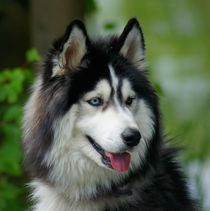 Husky by kattobello
