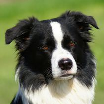 Border Collie von kattobello