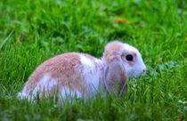 Zwergwidder Kaninchen Baby auf der Wiese von kattobello