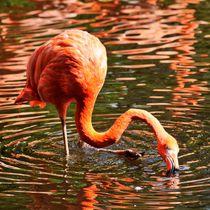 Flamingo auf Futtersuche von kattobello