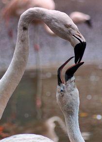 Flamingo Liebe von kattobello