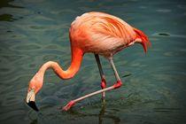 Flamingo auf Nahrungssuche von kattobello