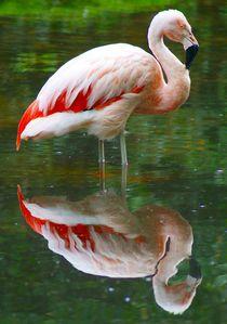 Flamingo mit Spiegelung von kattobello