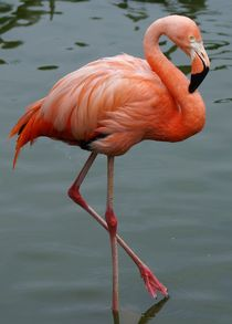Flamingo Balance by kattobello