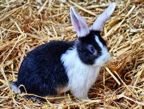 Schwarz weißes Kaninchen Baby im Stroh von kattobello