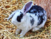 Schwarz weißes Kaninchen Baby im Stroh 9 von kattobello