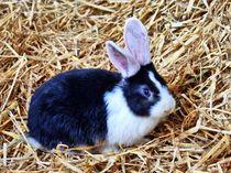 Schwarz weißes Kaninchen Baby im Stroh 8 von kattobello