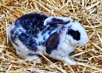 Schwarz weißes Kaninchen Baby im Stroh 7 von kattobello