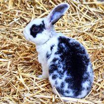 Schwarz weißes Kaninchen Baby im Stroh 6 von kattobello