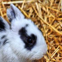 Schwarz weißes Kaninchen Baby Profil von kattobello